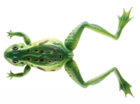 Cormoran Soft Frog 12cm 16g verde
