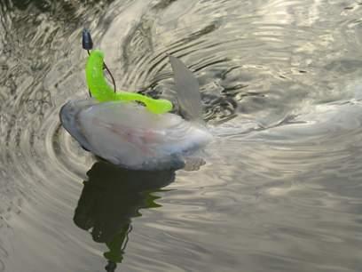 Shad Bass Assassin Turbo Shad 10cm Albino Shad