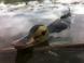 Vobler Savage Gear Suicide Duck 15cm 70g Natural 01 F